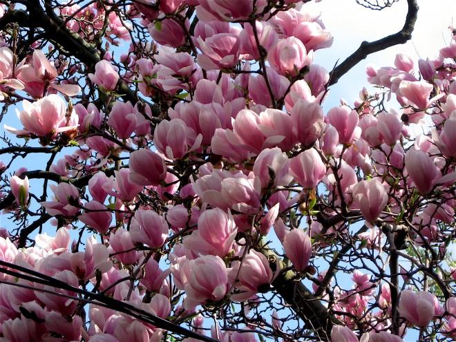 magnolia_4048